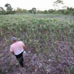 El periodo de sequía en el país mantiene bajos los índices de humedad del suelo, lo que afecta las plantaciones. Foto EDH