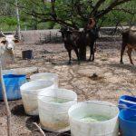 Los ganaderos de la zona oriental del país han comenzado a resentir la sequía, pues está escaseando el alimento para sus cabezas de ganado. foto edh / insy mendoza