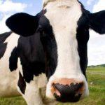 """En la cultura coreana, llamarle """"vaca"""" a una persona es considerar que es muy trabajadora."""