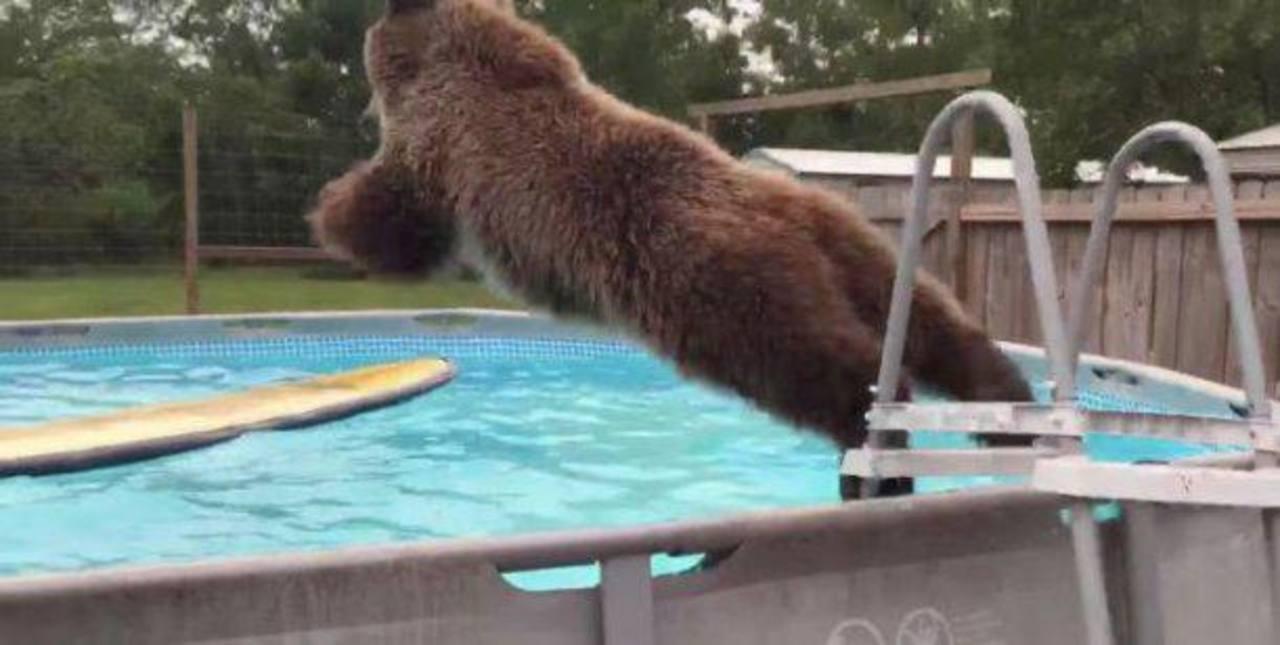 ¿Por qué Bruiser, este oso pardo, es sensación de la red?
