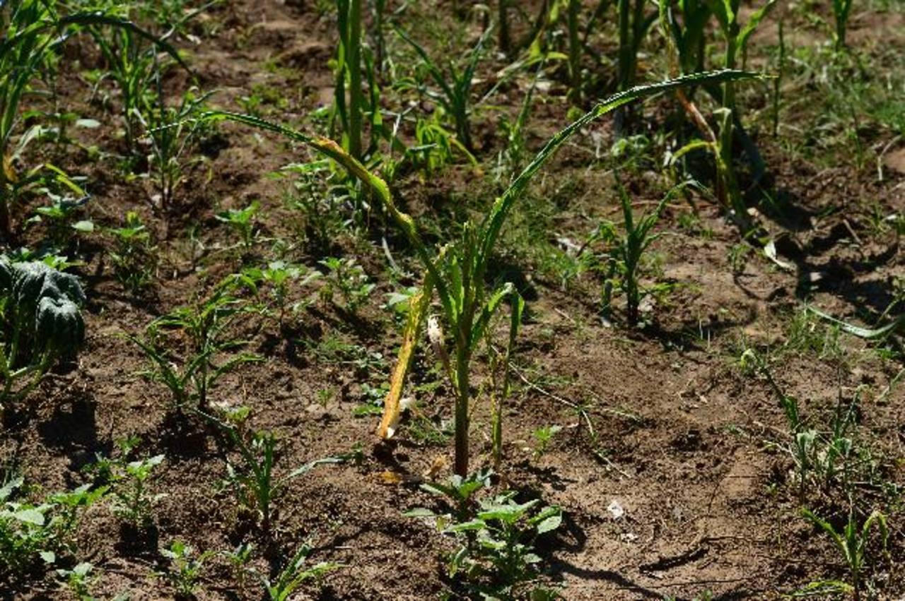Los daños en cultivos de maíz son irreparables en varias zonas del oriente, habrá que volver a sembrar. foto edh /archivo