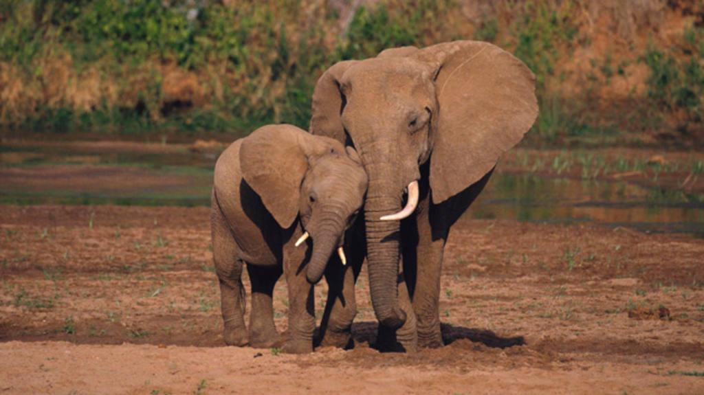 Mueren 22 elefantes envenenados con cianuro en Zimbabue