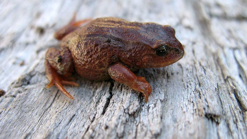Nueva especie de rana