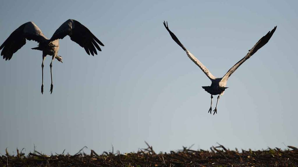 Cranes flying to their feeding sites over Linum