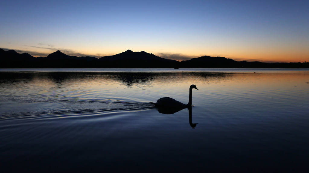 A swan swims on Hopfensee lake during  the blue hour near Hopfen am S