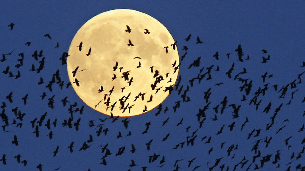 A flock of birds fly by as  a perigee moon