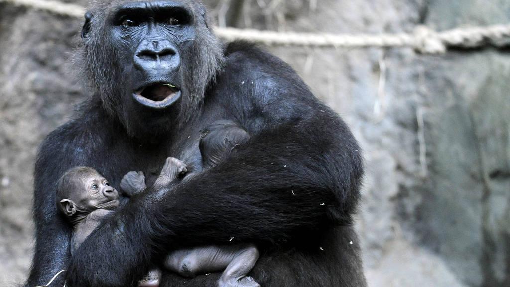 Gorilas gemelos