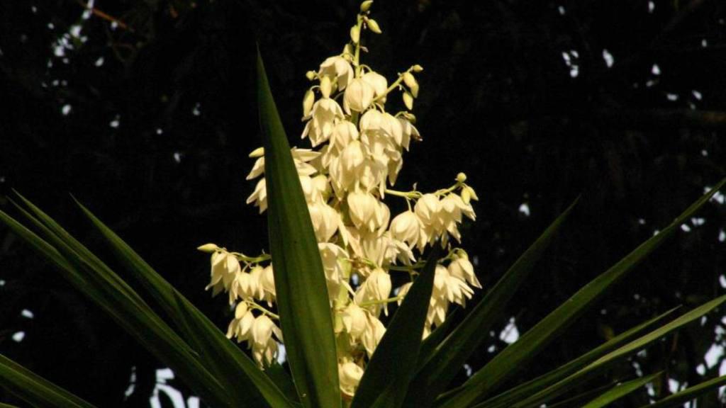 Platillos con flor de izote