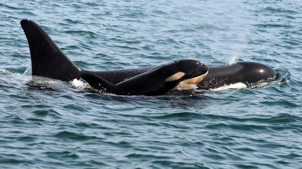 This September 2015 photo provided by the Center for Whale Research t