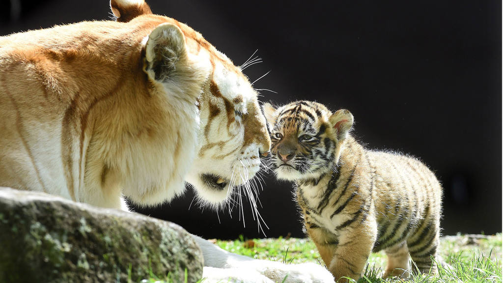 Six-week old tiger cub Kai