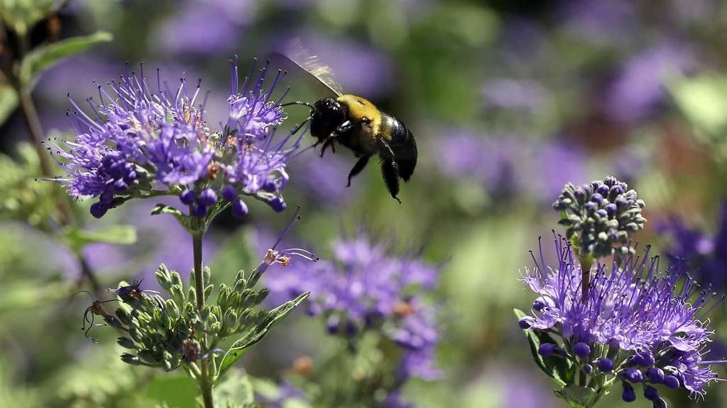 A carpenter bee buzzes around the garden at the Bayer North American