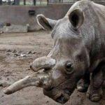 Fallece rinoceronte blanco en zoológico de San Diego