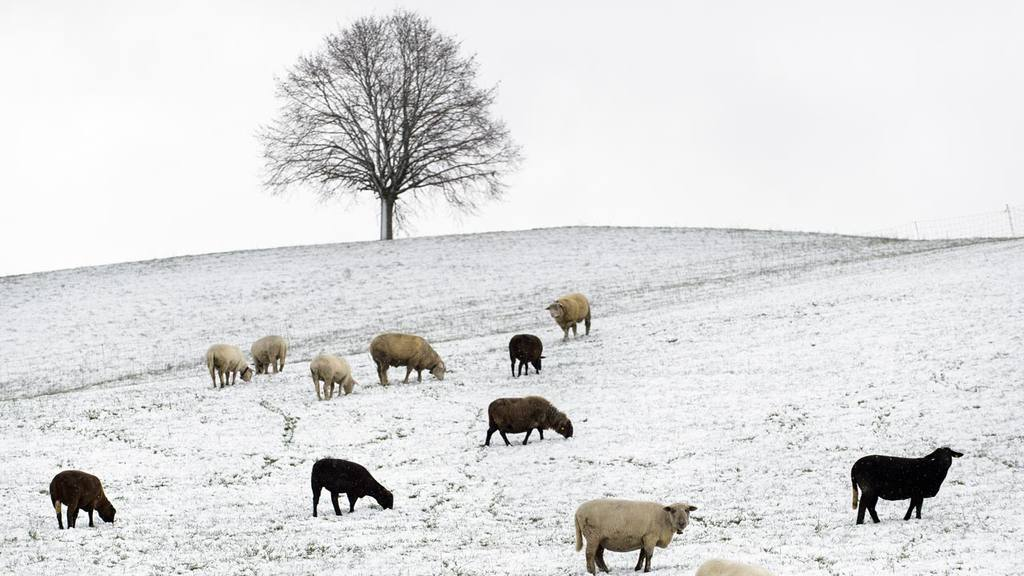 Sheep grass on a snow covered meadow in Schoenenberg in the Hirzel re