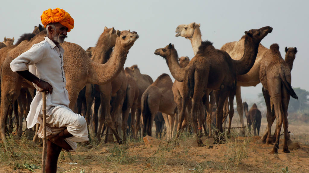 An Indian camel trader stands near camels at the annual cattle fair i