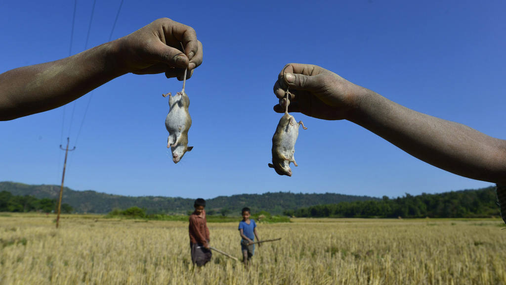 Young members of tribe mouse hunt in Karbi Anglong