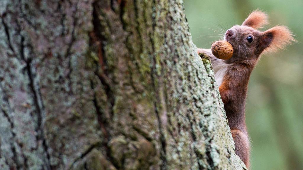 Squirrel carrying a walnut