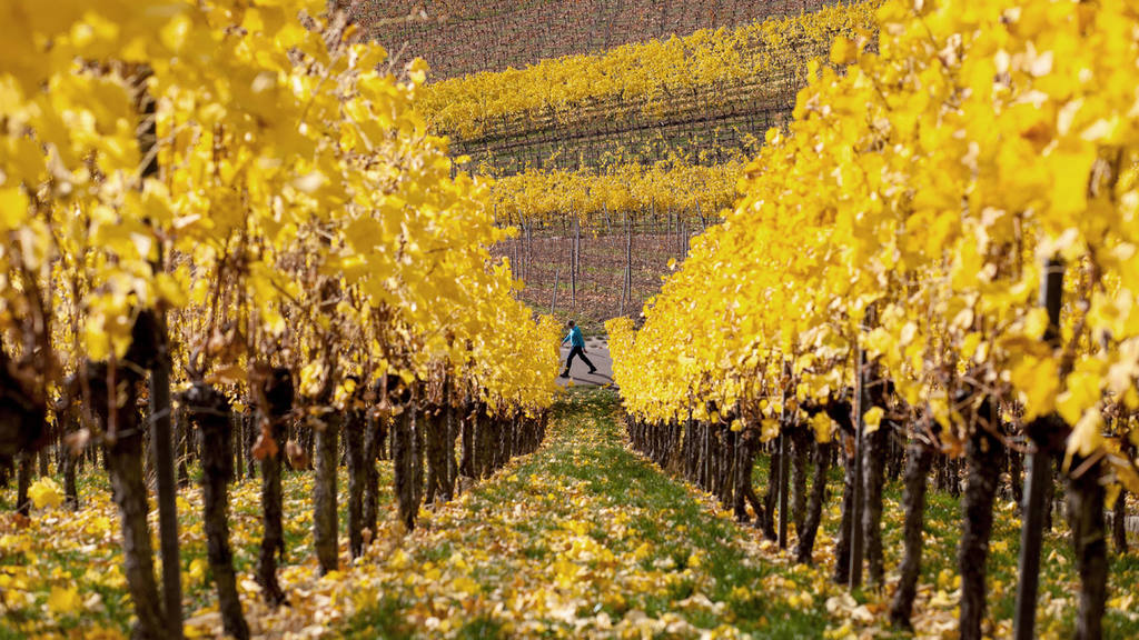 A man walks past the autumnally colored vineyards around Kappelberg h