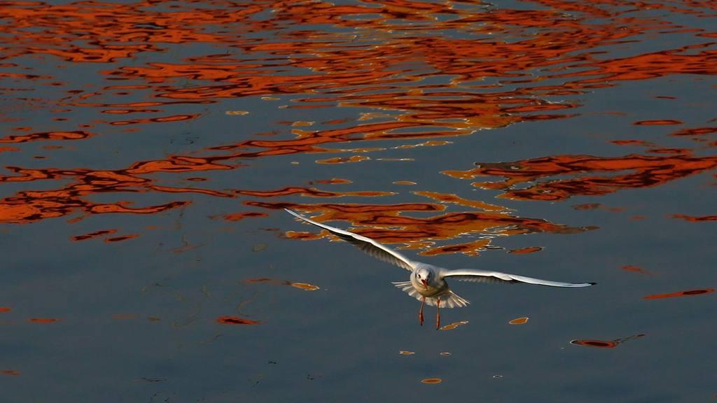 Gaviota en río Sava