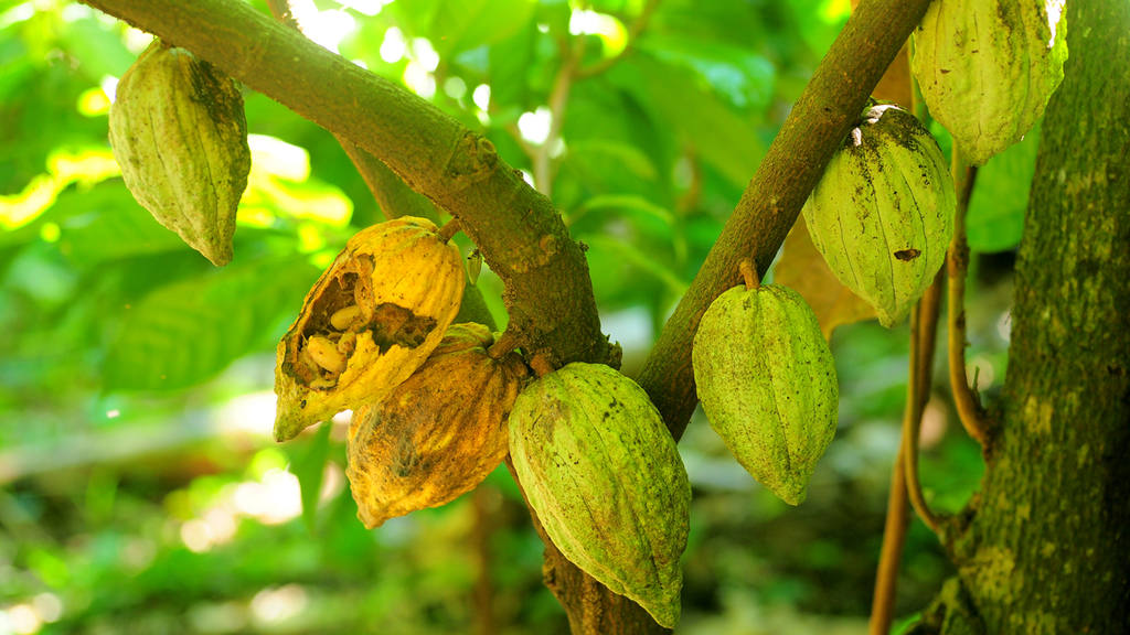 Proceso cacao