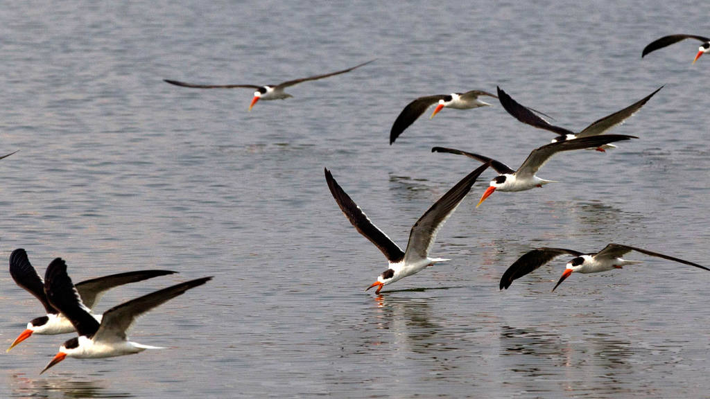 Indian skimmers fly over Sangam