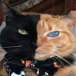 """Gato """"doble cara"""" conquista las redes sociales"""