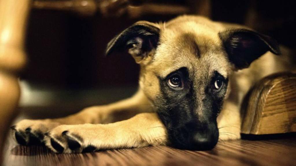 5 consejos para proteger a tus perros de los fuegos artificiales