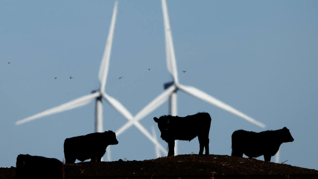 Cattle graze in a pasture against a backdrop of wind turbines which a