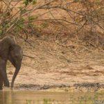 La lucha entre un bebé elefante y un cocodrilo