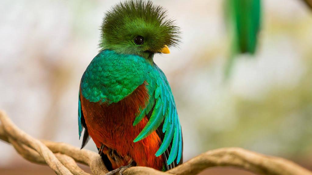 Ave quetzal