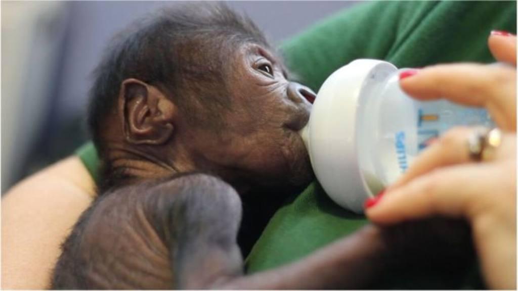 VIDEO: Ginecólogo salva la vida de bebé gorila en parto por cesárea ...