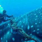 Un tiburón ballena permite que un buzo le retire una soga que lo torturaba