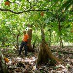 LA NUEVA FRONTERA DEL CACAO EN BRASIL EST¡ EN LA AMAZONÕA