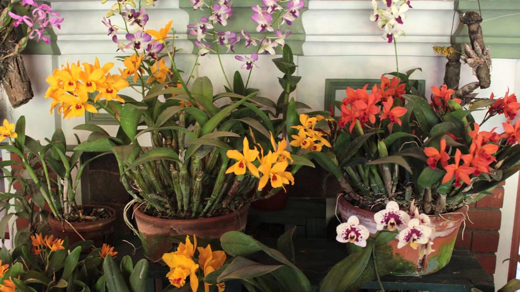 Las aficionadas de las orquídeas