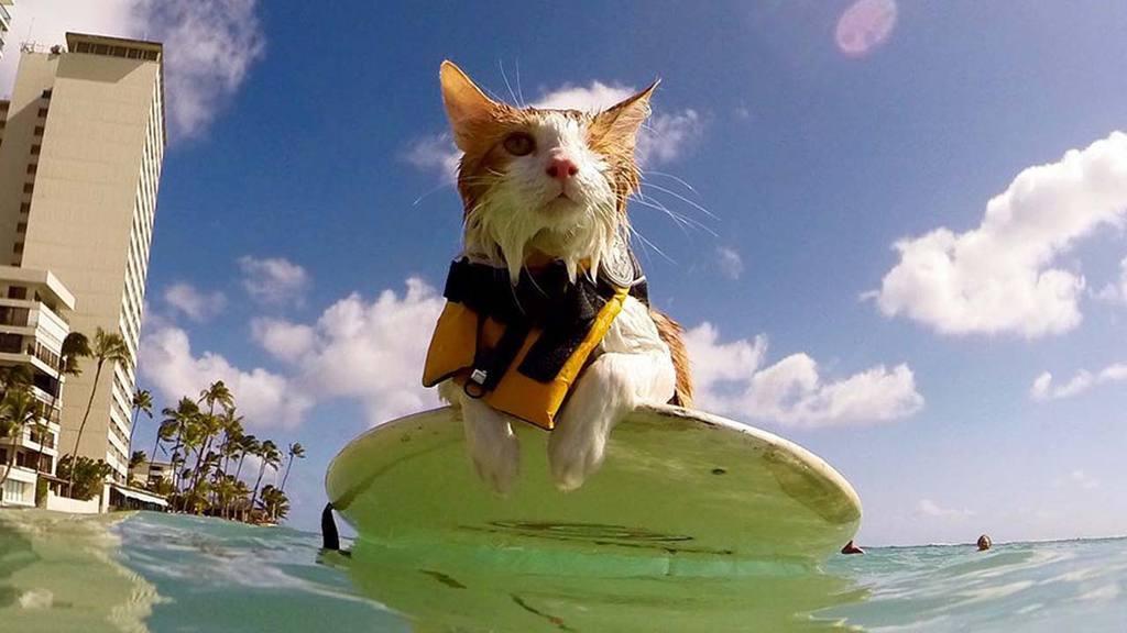 Gato surfista