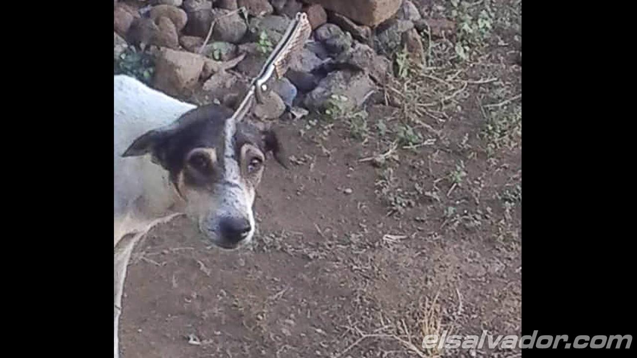 Oso, el perro que pasó dos días con una navaja en la cabeza