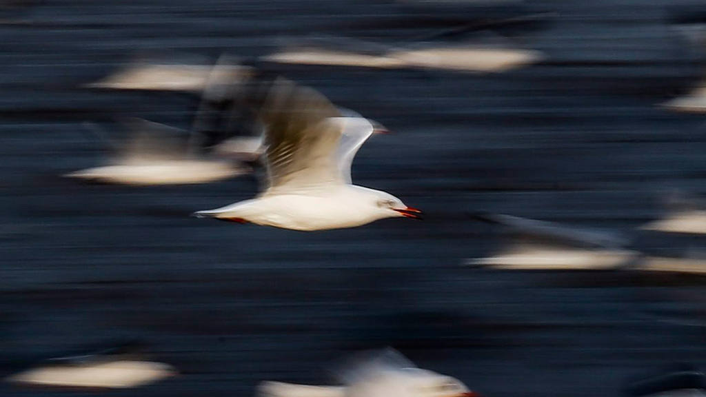 Seagulls migrate to Bang Pu seaside from Siberia to escape the harsh winter