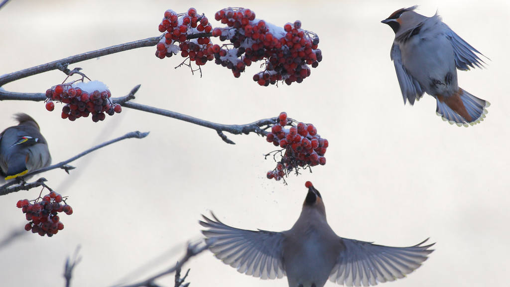 Waxwings peck at a frozen rowanberry on a tree in the town of Novogru