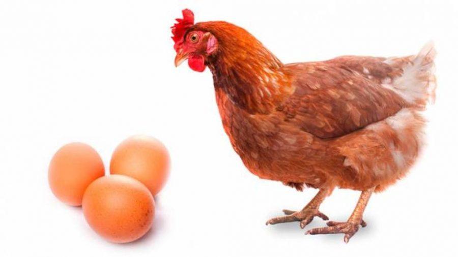 Qu fue antes el huevo o la gallina cient ficos for Huevo en el ano