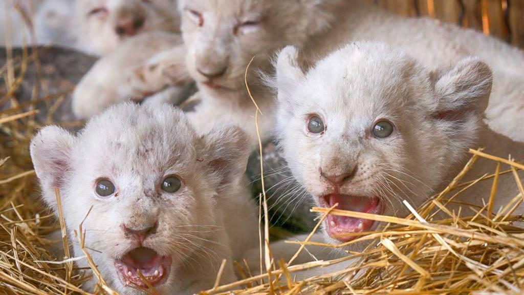 Tiernos Y Adorables Leones Blancos Nacidos En Un Zoológico
