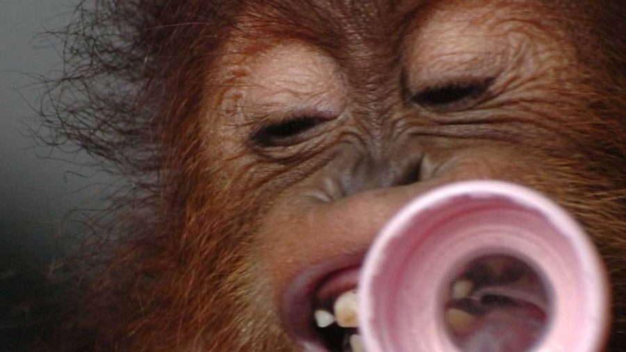 Muere orangután que se comunicaba con lenguaje de signos en Atlanta