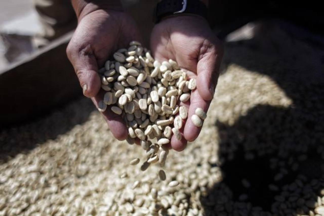 La presente cosecha de café será peor que la del año pasado debido a la plaga de roya.Foto EDH