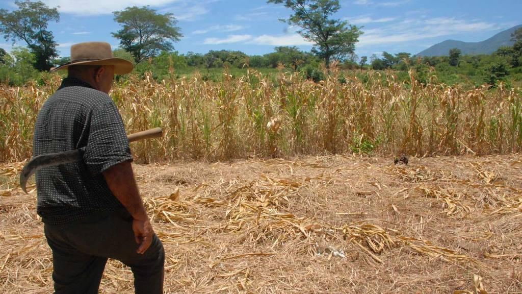Agricultores lamentan perdidas de sus cosechas por el fenómeno de El Niño.