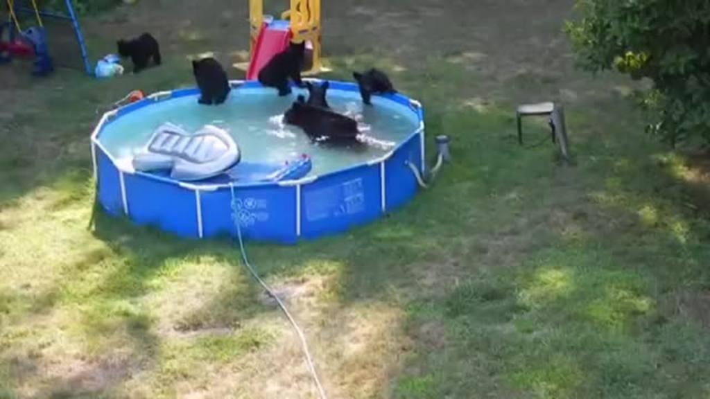 Familia de osos en piscina, Nueva Jersey, EE.UU.