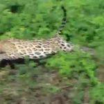 Jaguar sorprende al cazar a un caimán