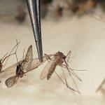 La OMS ha indicado a los países afectados a controlar el zancudo transmisor del virus .