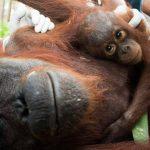 Asustado, el bebé orangután abraza a su madre. Ella fue sedada por rescatistas de animales.