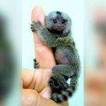 """Comercio de los """"mono de bolsillo"""" se hace popular en China"""