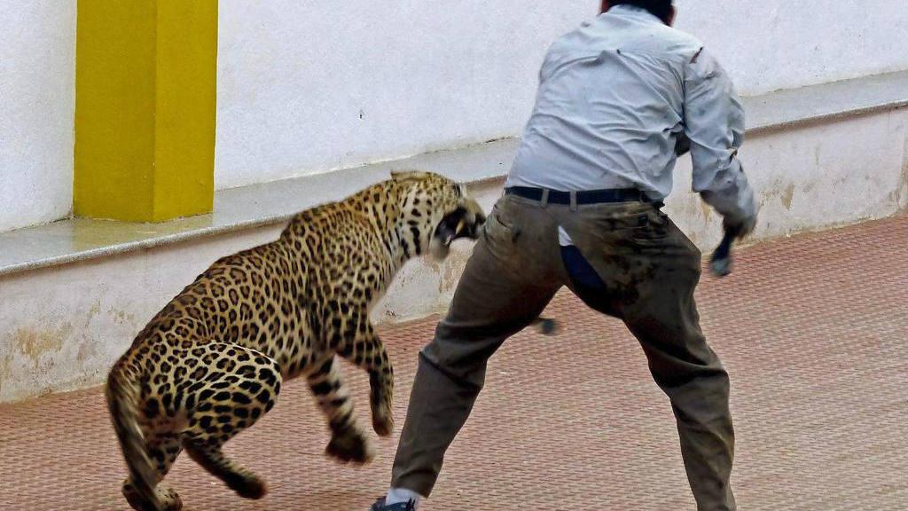El pasado domingo, un leopardo permaneció casi 14 horas en una escuela de Bangalore, sur de la India,e hirió a tres personas que participaron en su captura.