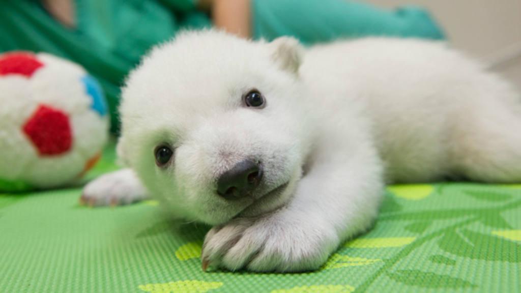Nora, osita polar de del zoo de Ohio