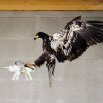Así actúan las águilas entrenadas por la policía para cazar drones.